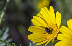 Black Beetle on the yellow daisy wildflower. Black Beetle pollinates a yellow daisy wildflower against a green grass background. Closeup of Flowers in a meadow Royalty Free Stock Image