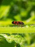 Black beetle with red spots on a green stem plants. Black beetle with red spots Tricephora vulnerata on a green stem plants Royalty Free Stock Photo