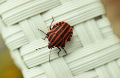 Black beetle with red stripes Stock Images