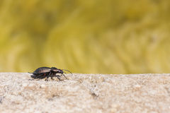 Black beetle on rock Royalty Free Stock Photography