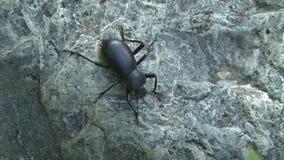 Black beetle on rock. Video of black beetle on rock stock video footage