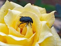 Black Beetle on pale Yellow Rose Stock Image