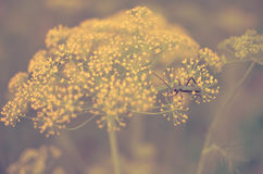 Black beetle sitting on a flower dill Stock Images