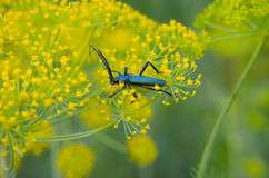 Black beetle sitting on a flower dill Royalty Free Stock Photography
