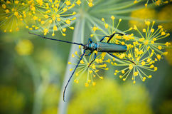 Black beetle sitting on a flower dill Stock Image