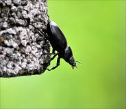 Black beetle - Stag Stock Photography