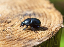 Black beetle on a stub Stock Photography
