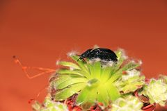 Black beetle on succulent. Black beetle on a succulent on an orange background Royalty Free Stock Photo