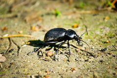 Black beetle in the summer on a forest path Stock Photos