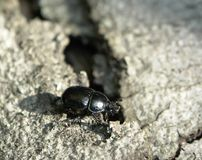 Black beetle walking on bark Royalty Free Stock Photography