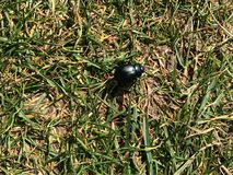 Black Beetle walking over grassland. Black antennae and closed wingcase Royalty Free Stock Image