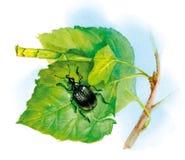 Black beetle Royalty Free Stock Image