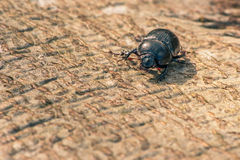 Black beetle on wood Royalty Free Stock Images