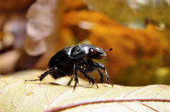 Black beetle woodcutter-tanner crawling on tree bark Royalty Free Stock Photo