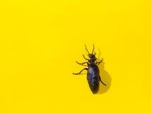 Black beetle on yellow background Stock Photography