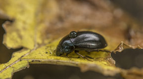 Black beetle on yellow leaf Stock Photos