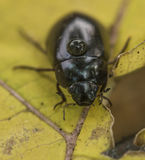 Black beetle on yellow leaf Royalty Free Stock Photography
