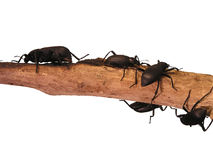 Black Beetles. Crawling on wooden stick, isolated Stock Image