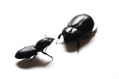 Black Beetles. Isolated shot of a couple of black beetles on white background Stock Image