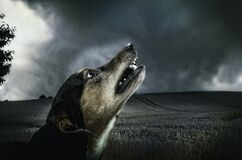 Black and Beige Short Coat Dog Head Photo Stock Photography