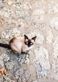 Black beige Siamese cat meowing. Siamese cat viewed from above, sitting on the street outside en meowing to the viewer Royalty Free Stock Photography