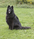 Black Belgian Sheepdog Royalty Free Stock Photography