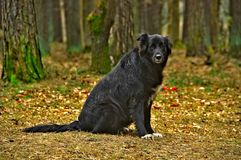 Black Belgian Sheepdog. Sitting in the forest Royalty Free Stock Photography