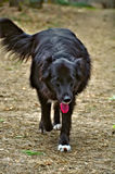 Black Belgian Sheepdog walking. In the forest Stock Image