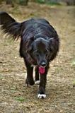 Black Belgian Sheepdog walking Stock Image