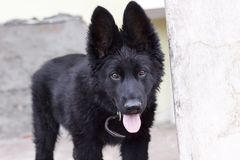Black Belgian Shepherd Puppy Royalty Free Stock Photo