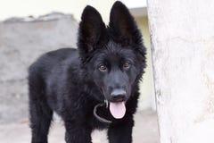 Black Belgian Shepherd Puppy Royalty Free Stock Photo