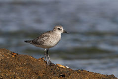 Black-belied Plover Royalty Free Stock Photo