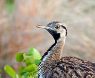 Black-bellied bustard. Close-up of a Black-bellied bustard in nature Royalty Free Stock Photography