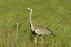 Black-bellied bustard Royalty Free Stock Images