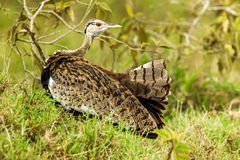 Black Bellied Bustard Royalty Free Stock Image