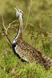 Black Bellied Bustard. Adult Black Bellied Bustard aka Black Bellied Korhaan Standing In Tall Grass And Vocalizing Royalty Free Stock Photos