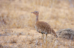 Black-bellied Bustard (Eupodotis melanogaster) Royalty Free Stock Photos