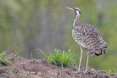 Black-bellied bustard (Eupodotis melanogaster) Stock Photos