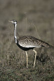 Black-bellied bustard, Eupodotis melanogaster Stock Photo