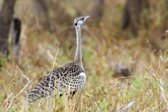 Black-bellied bustard in Kruger National park Stock Images