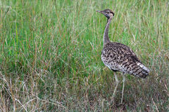 Black-bellied bustard, Maasai Mara Game Reserve, Kenya Stock Images