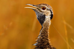 Black-bellied Bustard portrait, Masai Mara Stock Images