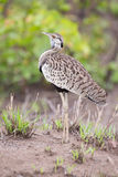 Black-bellied bustard preparing to call for the mate Stock Image