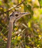 The Black-bellied Bustard´s face Stock Images