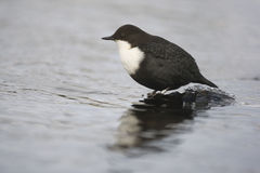 Black-bellied dipper, Cinclus cinclus cinclus Royalty Free Stock Images