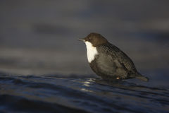 Black-bellied dipper, Cinclus cinclus cinclus Royalty Free Stock Photos