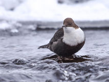 Black Bellied Dipper Stock Images