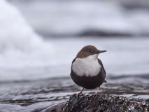 Black Bellied Dipper royalty free stock images