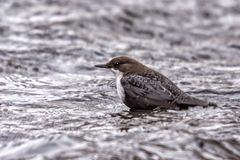 Black Bellied Dipper Royalty Free Stock Photo