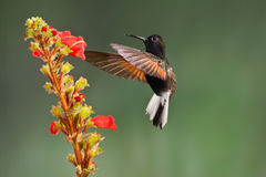 Black Bellied Hummingbird Stock Photos